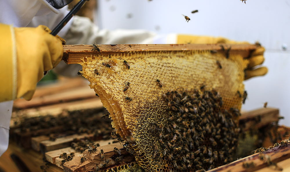 Honeybees On A Top Bar Hive Comb