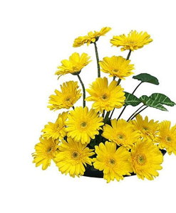 Bangalore flowers Yellow Gerberas Basket