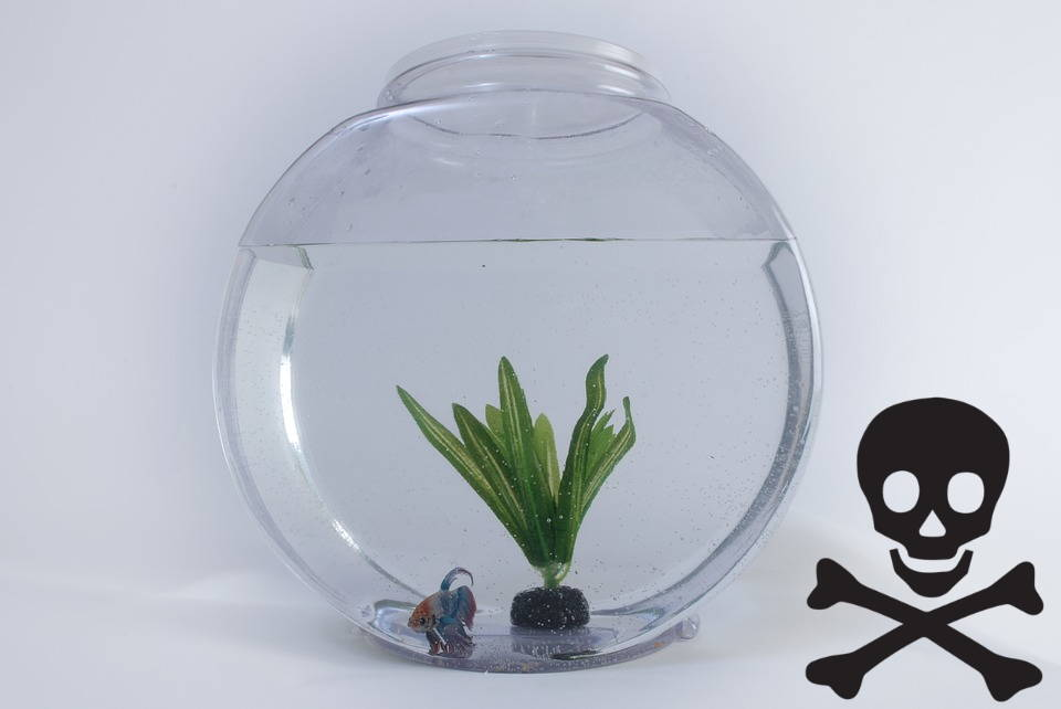 Betta Fish Bowls And Vases Might Not Be The Best Choice Aquatic