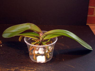 Orchid Repotting Clinic Phalaenopsis Repotme