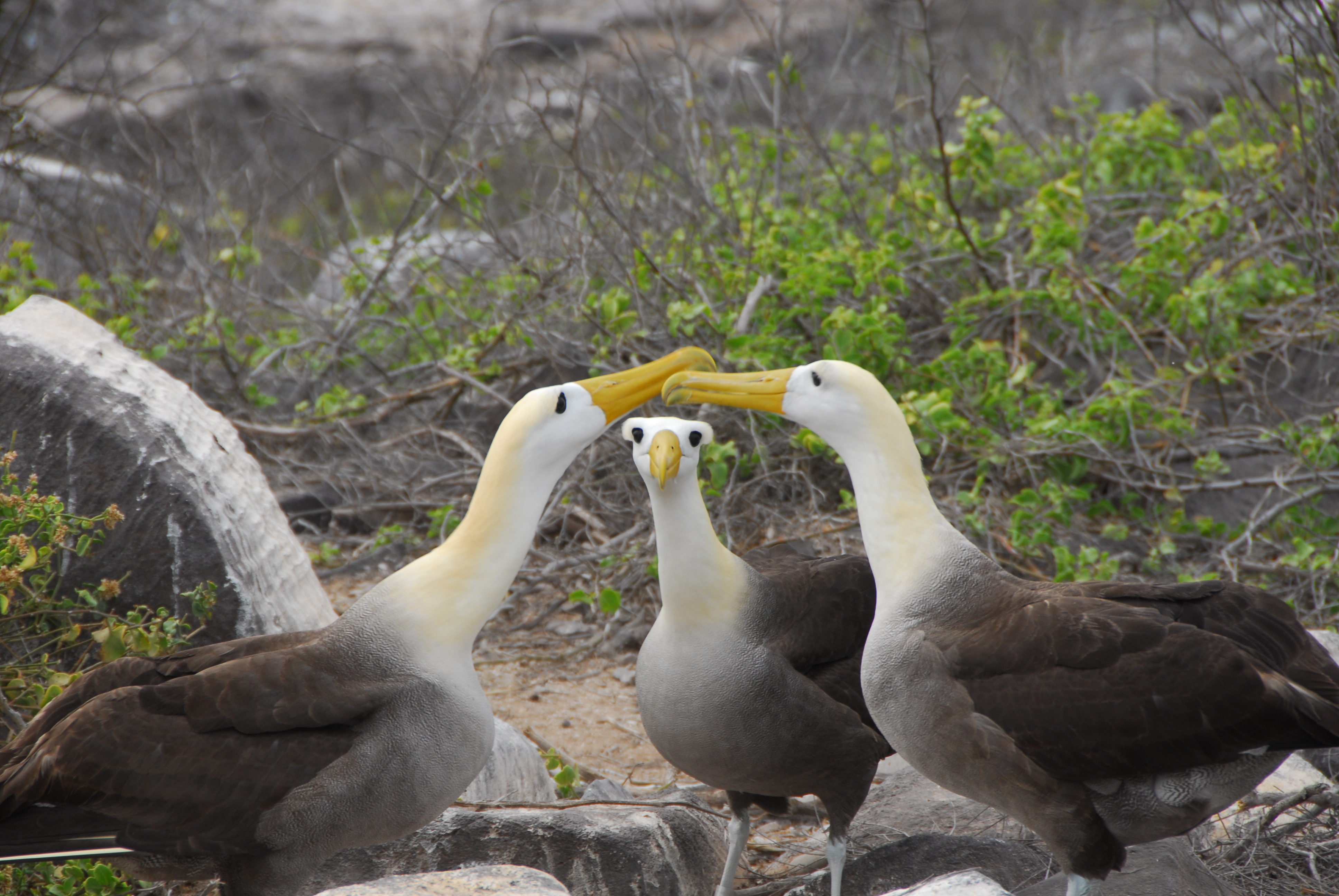 Galapagos waved albatross (2).jpg