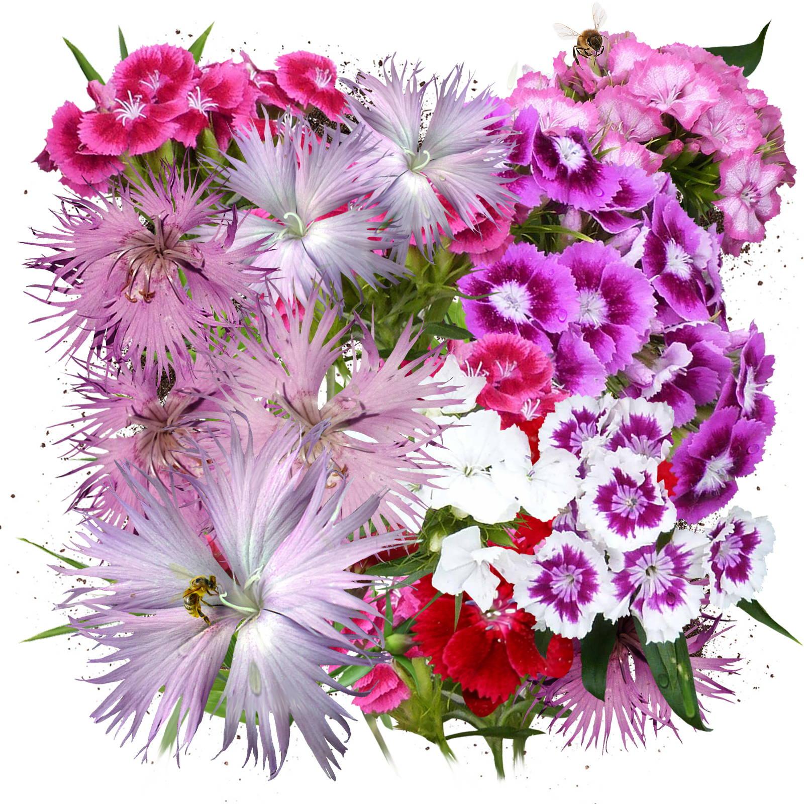 Pinks Seeds