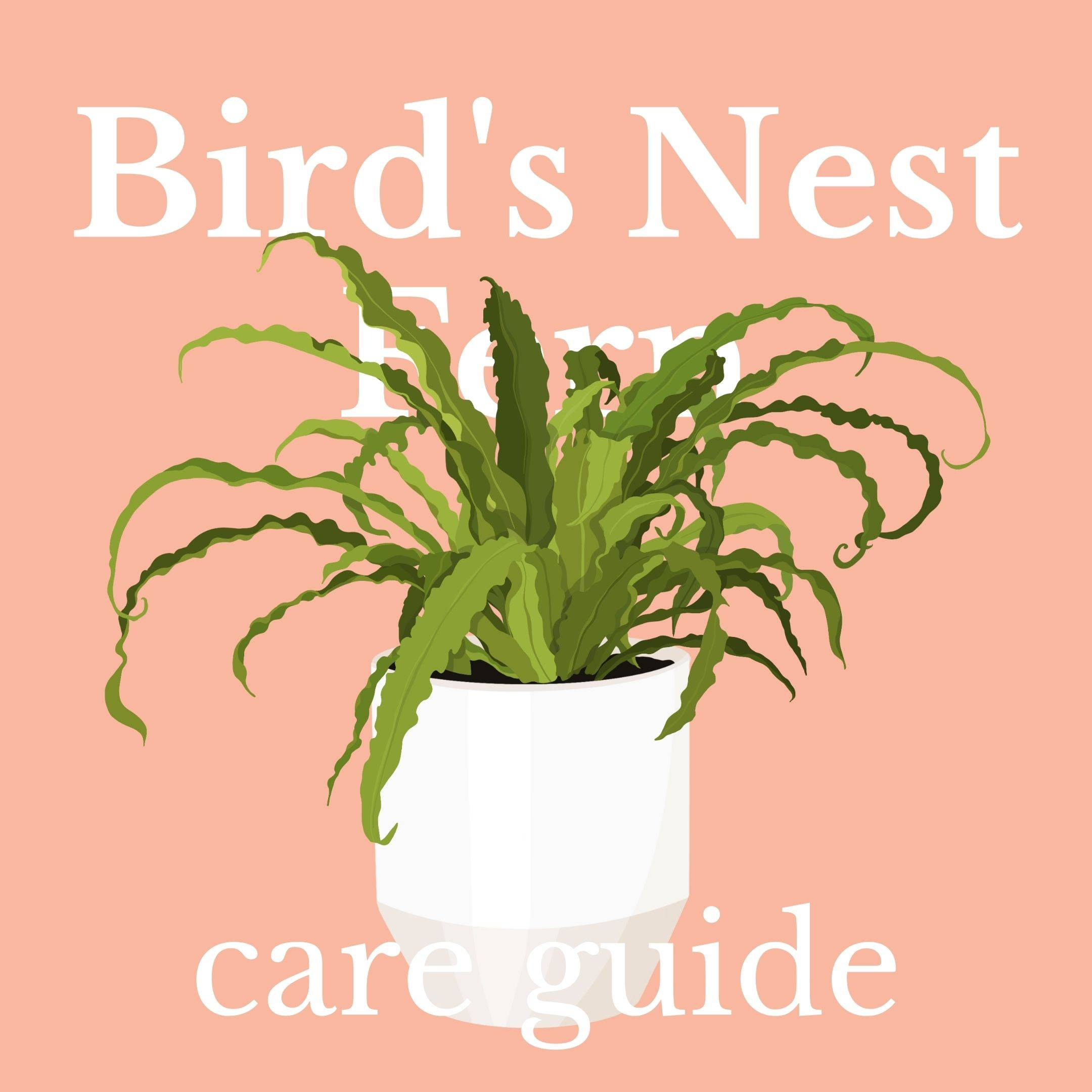 Drawing of bird's nest fern