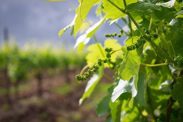 Green new grape vine shoots in Hunter Valley Vineyard