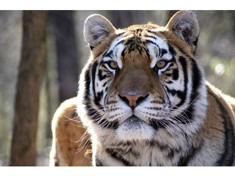 Carolina Tiger Rescue Wrapped Canvas - Kaela Tiger