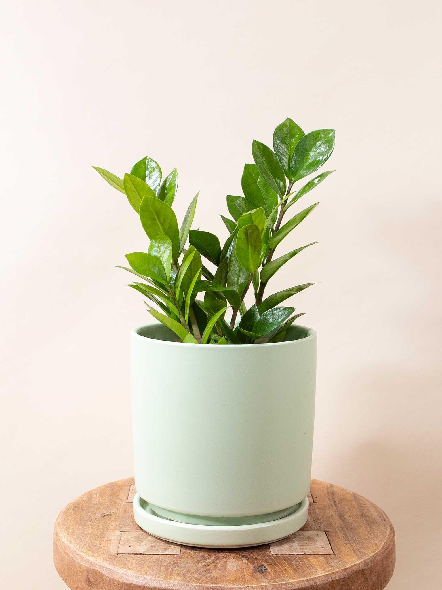 ZZ plant on a stool