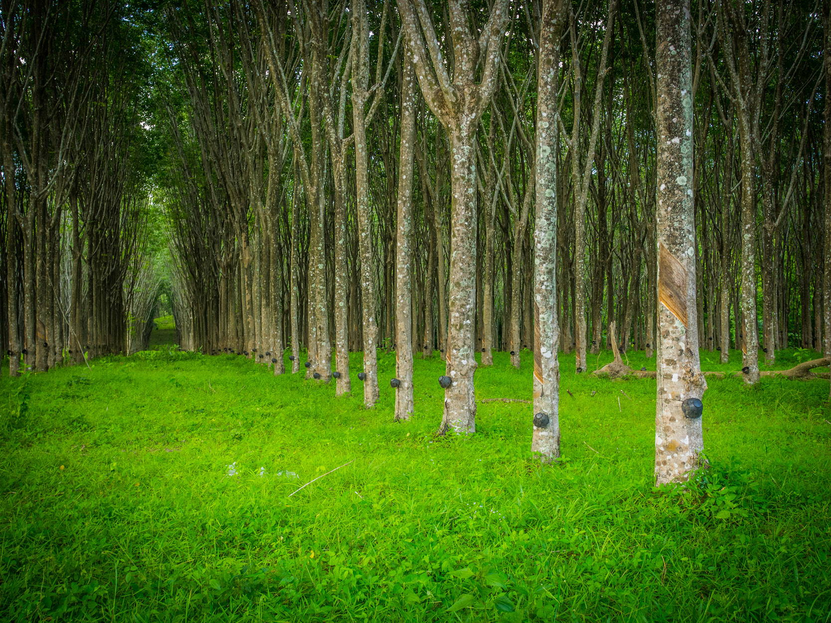 Forest of latex rubber trees. Image