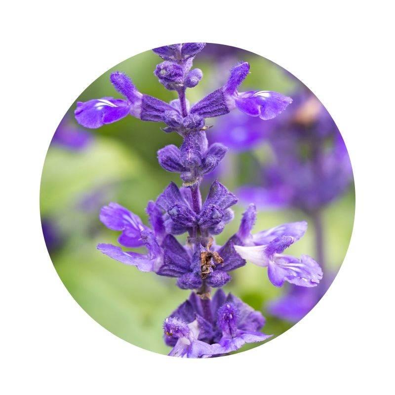 SALBEI Salvia officinalis Heilpflanzen Heilkräuter Lexikon Heilwirkung Wirkung