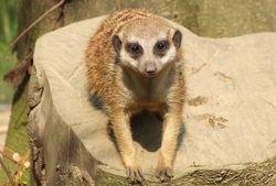 zoo dortmund erdmännchen