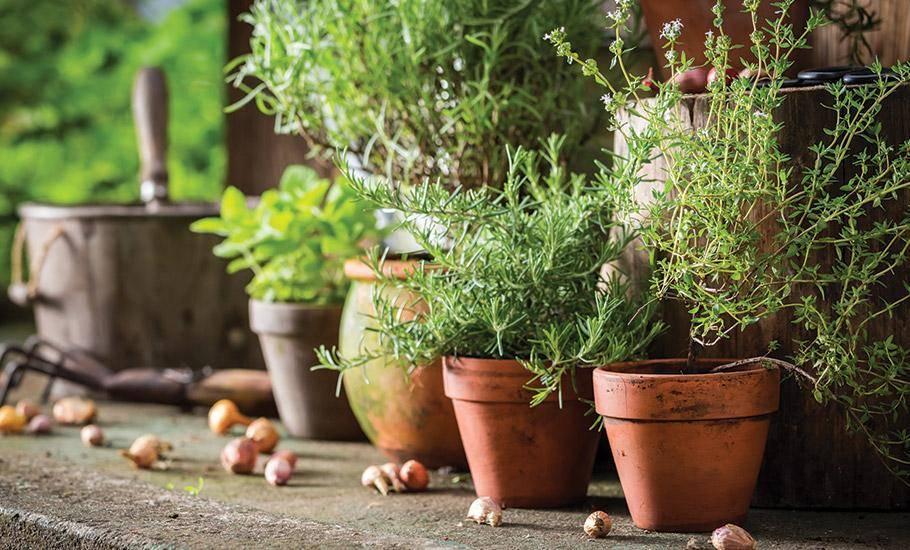homegrown herbs in pots