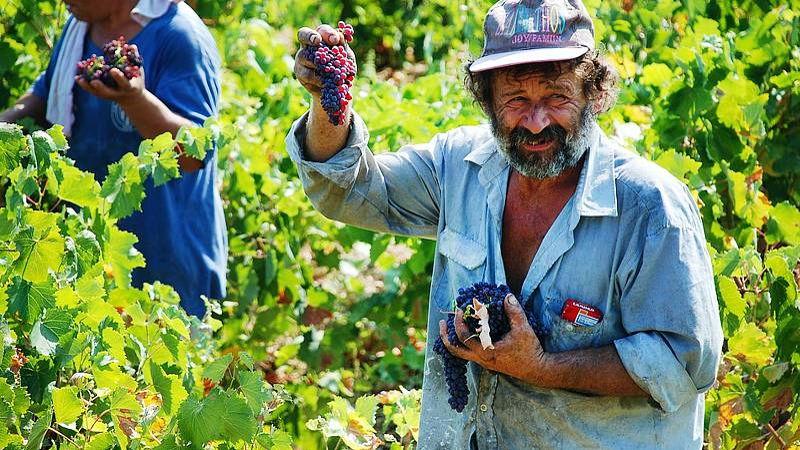 Picking grapes in the vineyards, Santorini, Greece
