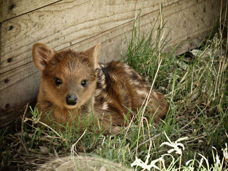 Baby Pudu picture - What is a Pudu?