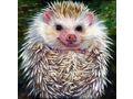 Hedgehog by Lorraine Brevig