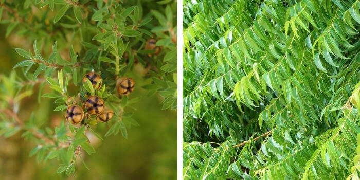 Tea-Tree oil and Neem oil