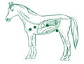 Drawing horse with intestines showing the benefits of BCS MIX on the body