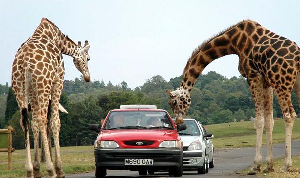 Весёлое семейное путешествие в удивительном Зоо-сафари