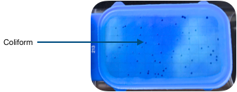 Blue tester with coliform colonies