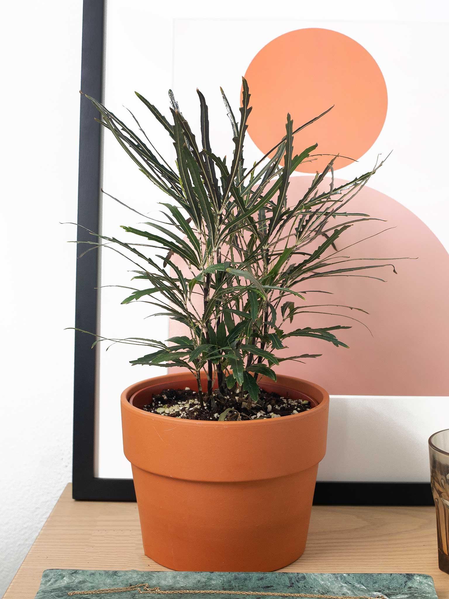 False aralia plant potted on a table