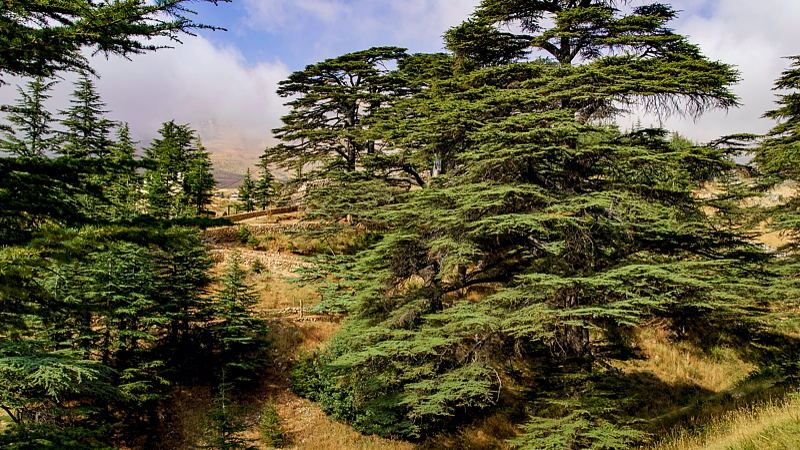 Cedrus libani commonly known as the cedar of Lebanon