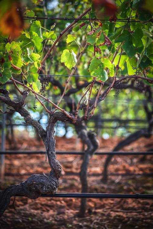 Beautiful Vines in Hunter Valley Wineries