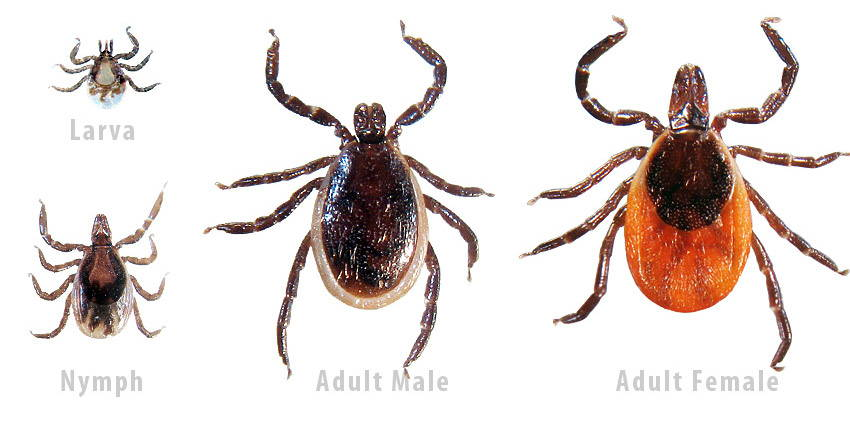 larva, nymph, adult male and adult female deer tick