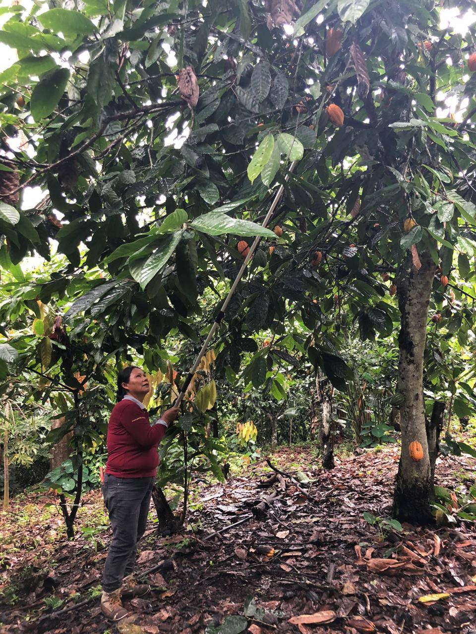 cacao farm peru chuncho