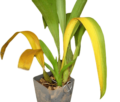 Yellowing Orchid Leaves Orchid Care Repotme