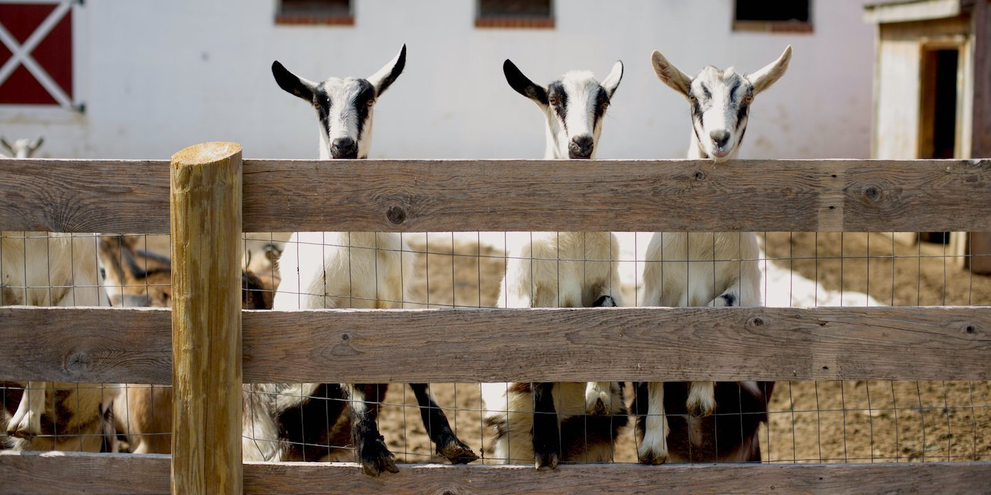 Goats from Otterbein Acres Farm | Revittle