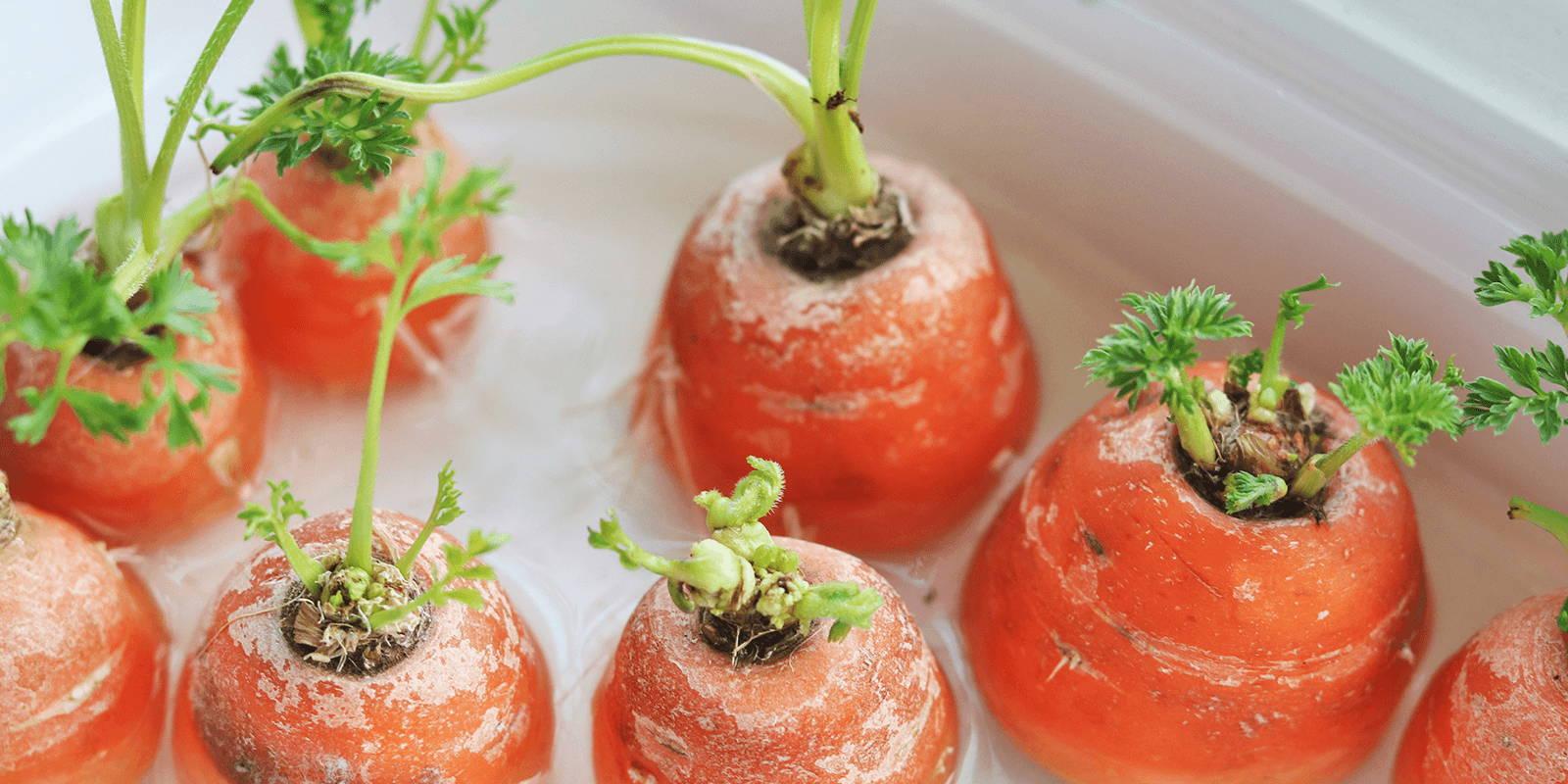 Carrot tops in water.