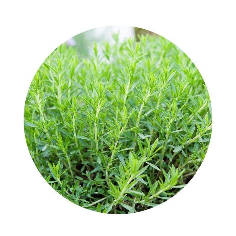 ESTRAGON Artemisia dracunculus Heilpflanzen Heilkräuter Lexikon Heilwirkung Wirkung