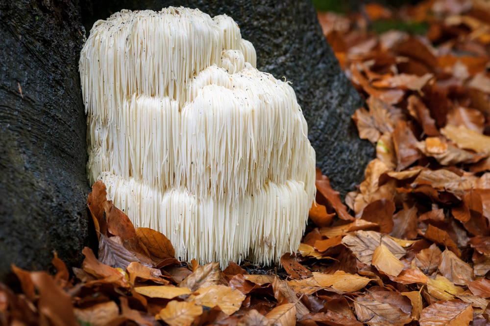 Lion's Mane, medicinal mushroom for focus