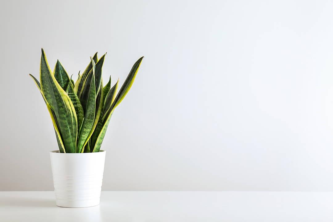 Snake plant, Biophilia, Bophilic design