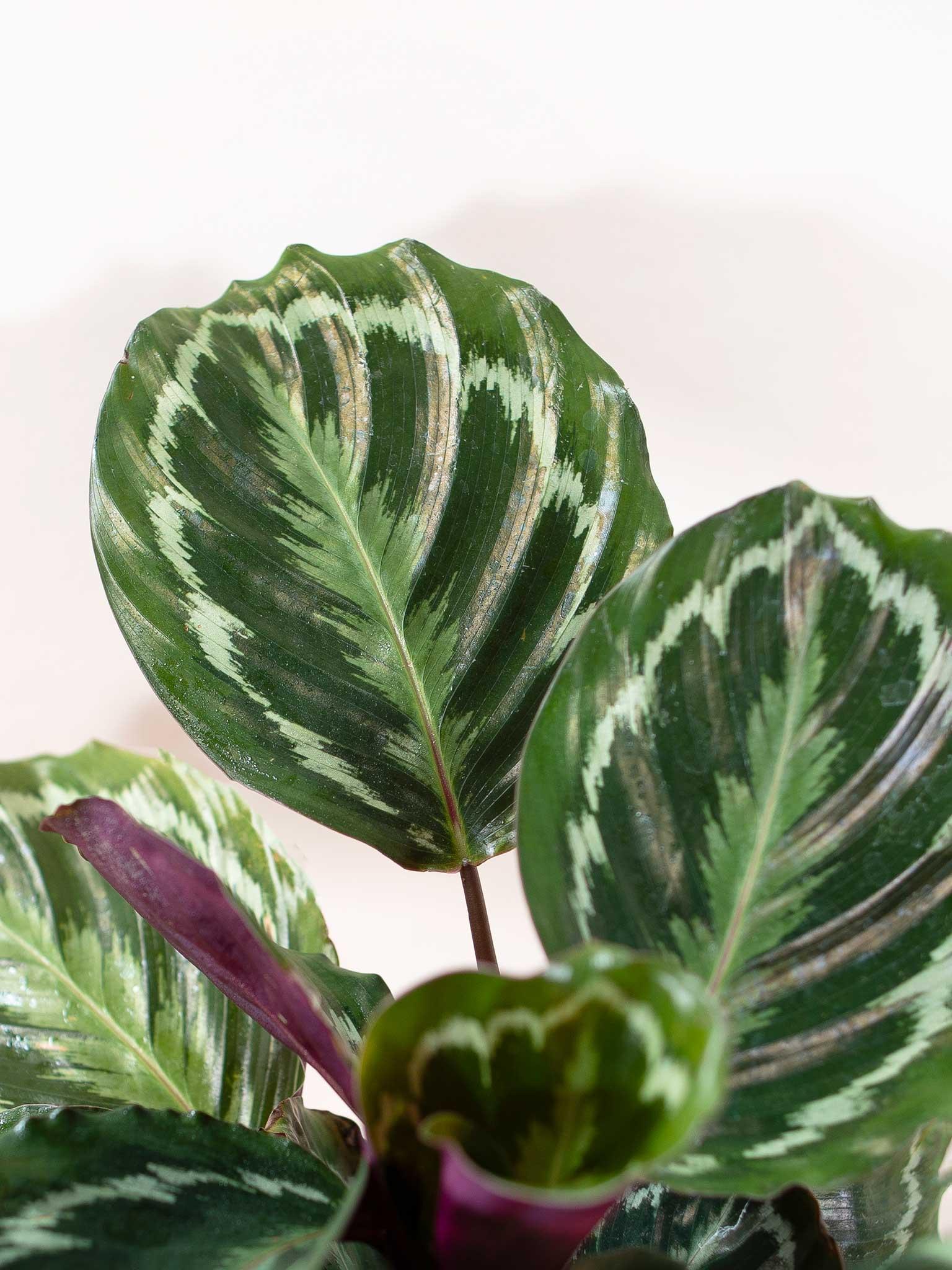 Calathea Medallion leaf up close