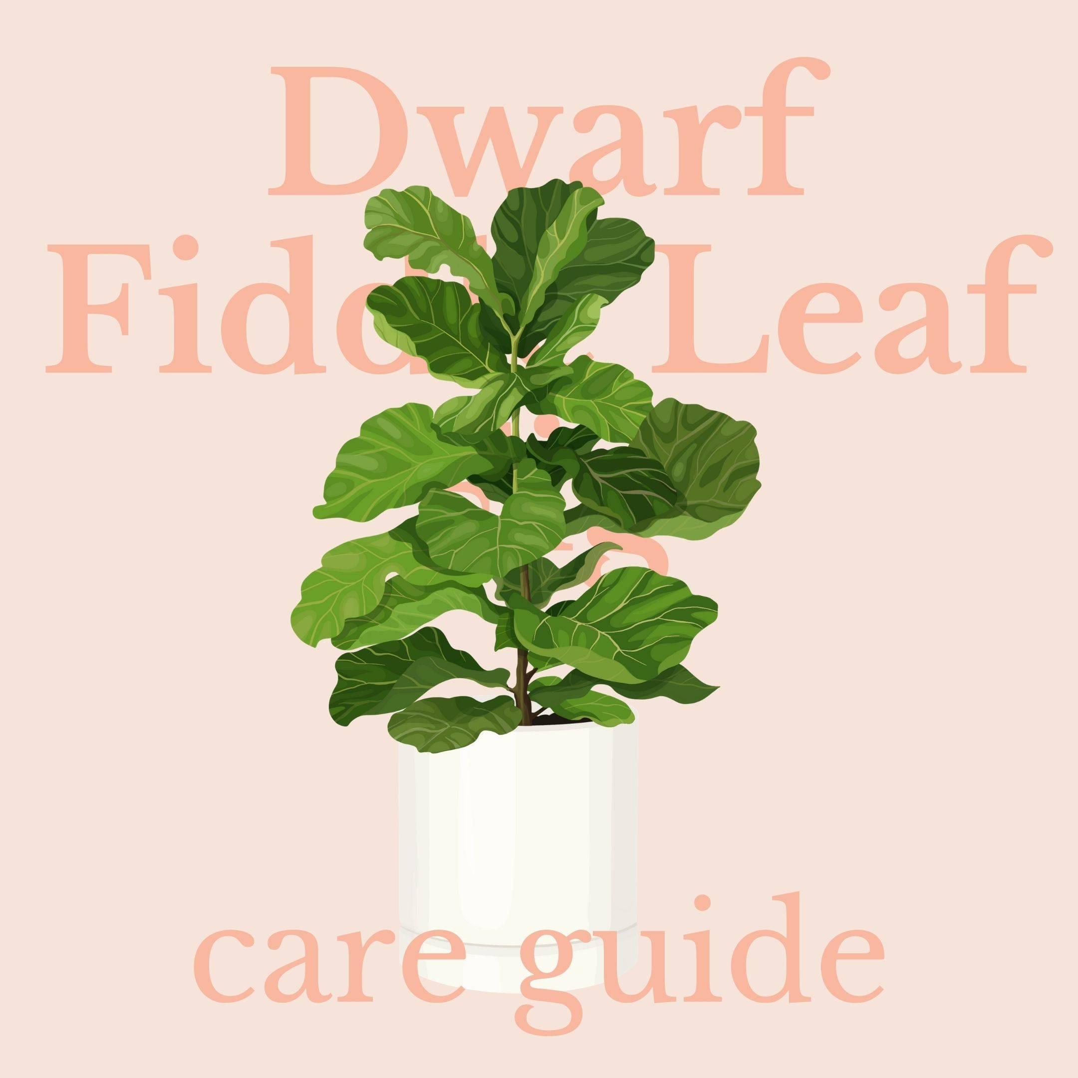 Drawing of dwarf fiddle leaf fig