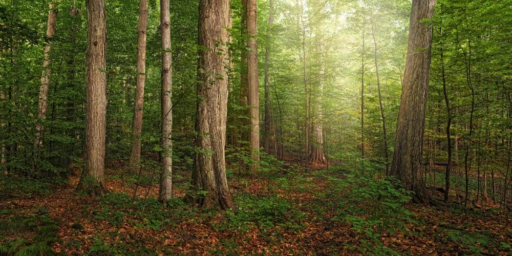 Panoramic photo of the Sacred Grove in Palmyra, New York. Light shines down through the trees.