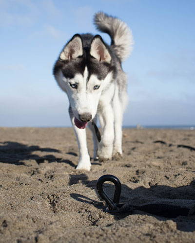 husky tied to gravity stake at the beach