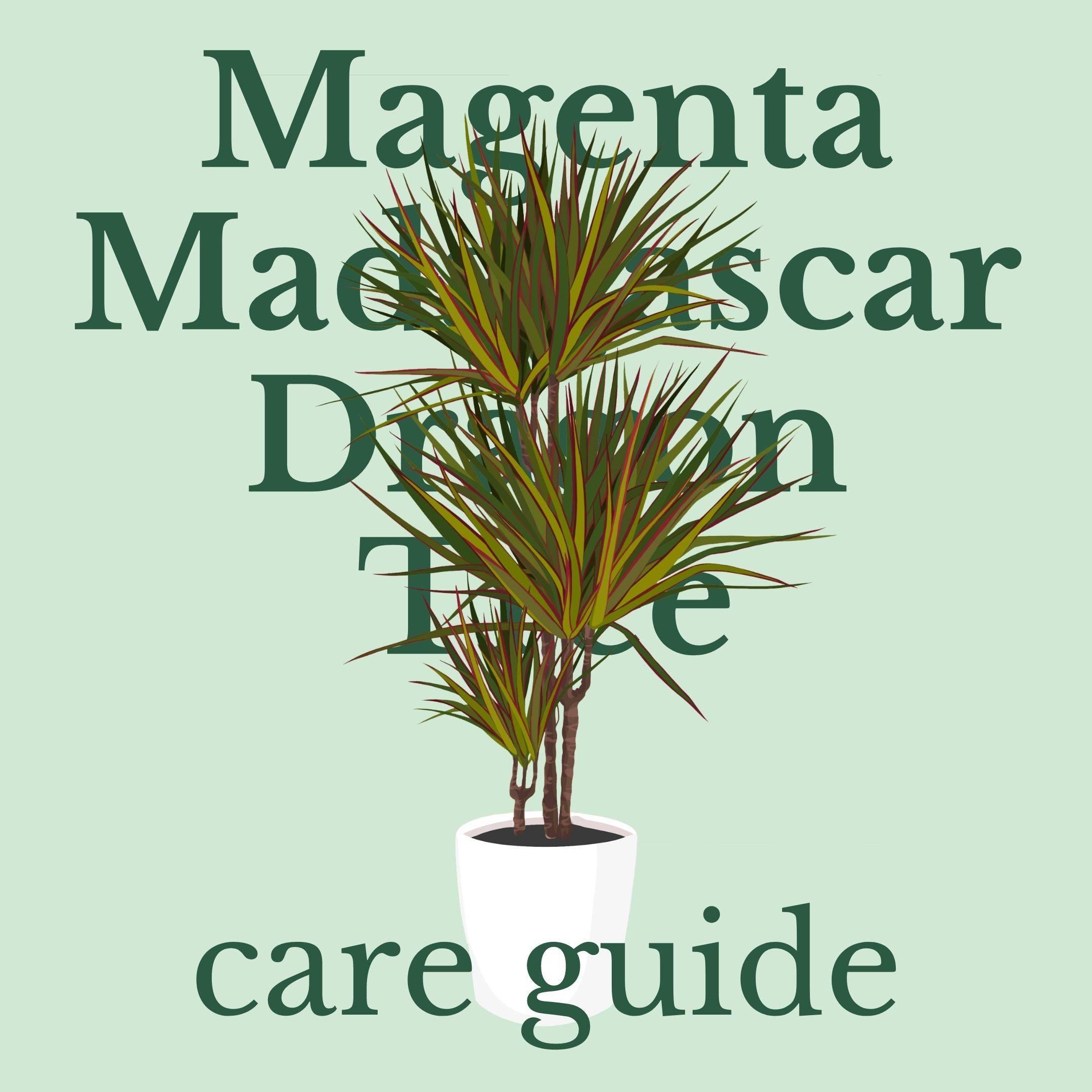 Drawing of magenta madagascar dragon tree