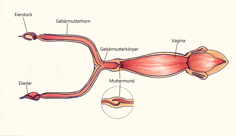 Geschlechtsorgane Hündin Anatomie