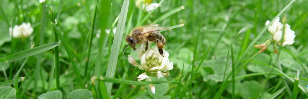 Biene auf Kleeblüte im Gras