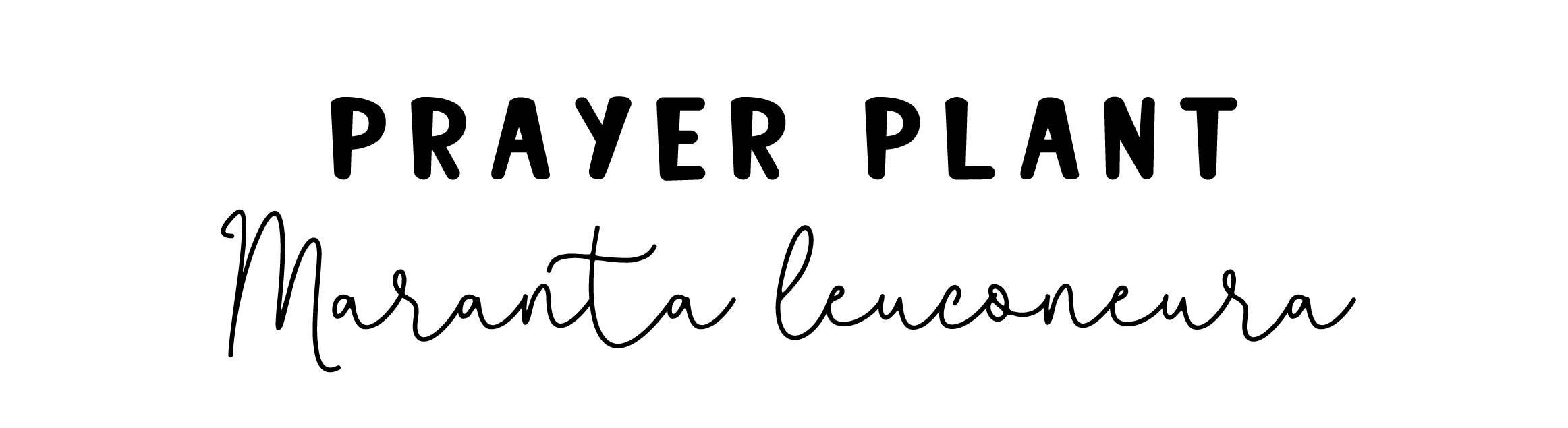 Prayer Plant: Maranta Leuconeura