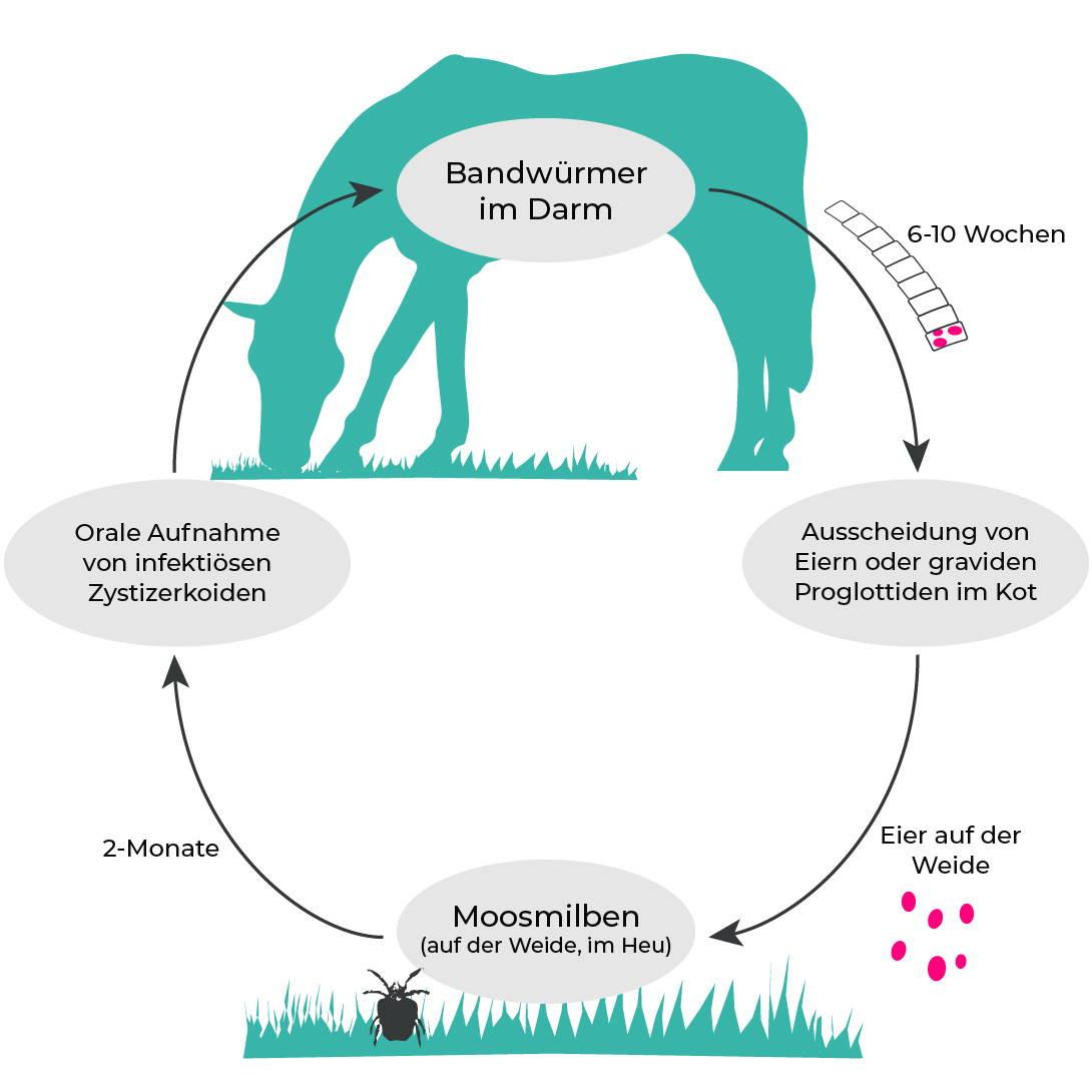 Entwicklungszyklus: Pferdebandwurm