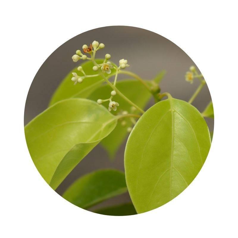 KAMPFER Cinnamomum camphora  Heilpflanzen Heilkräuter Lexikon Heilwirkung Wirkung