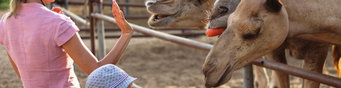 Поездка на верблюжью ферму (идеально подходит для семей с детьми).