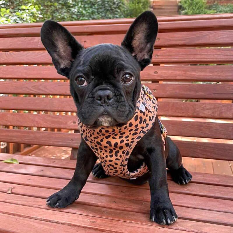 Chihuahua harness