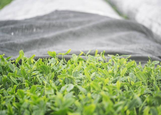 Matcha tea leaves | shade-grown
