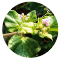 boerhavia diffusa medicinal uses | Dendera Naturally