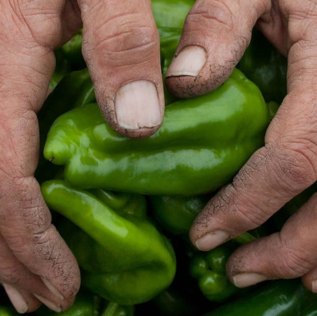 green pepper hand CSA DAVINES