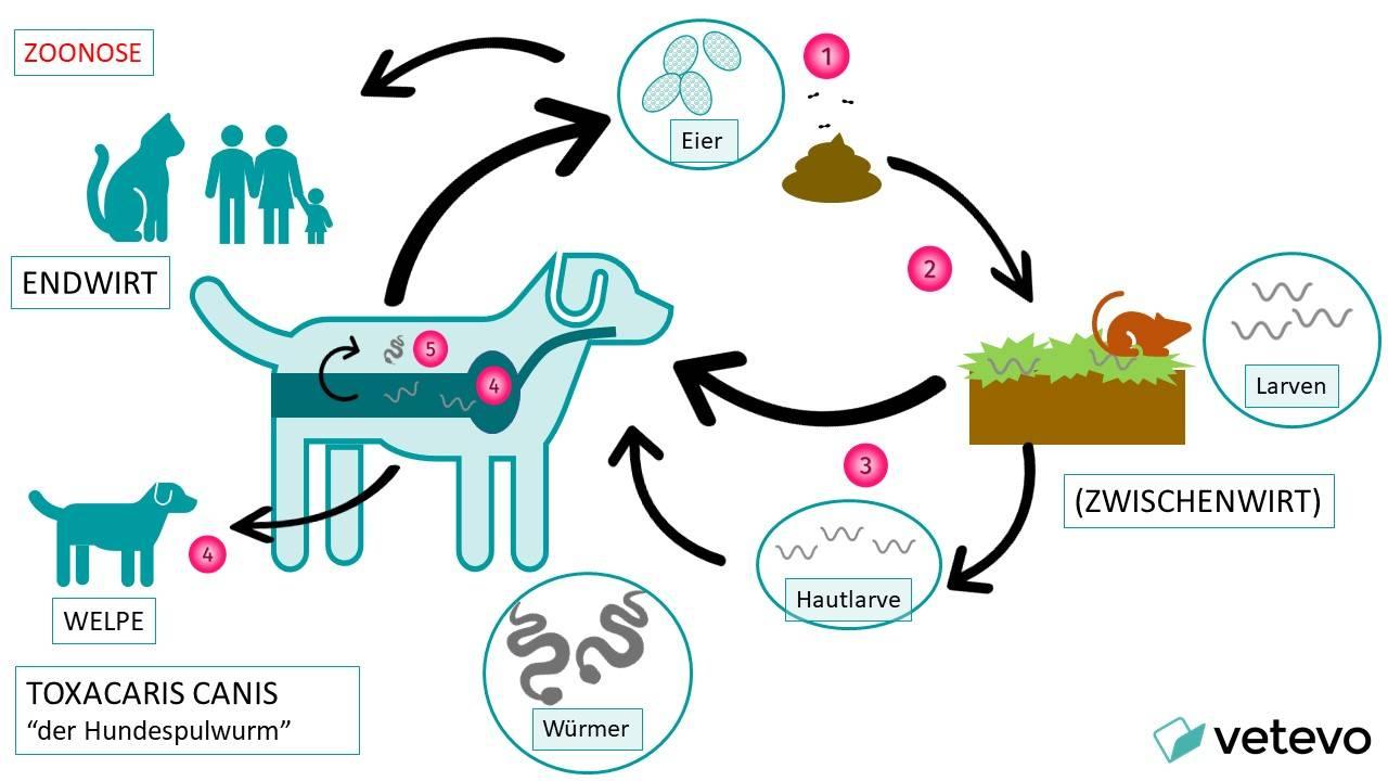 Lebenszyklus des Hundespulwurms