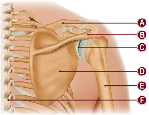 POSTERIOR OF THE RIGHT SHOULDER ANATOMY ILLUSTRATION