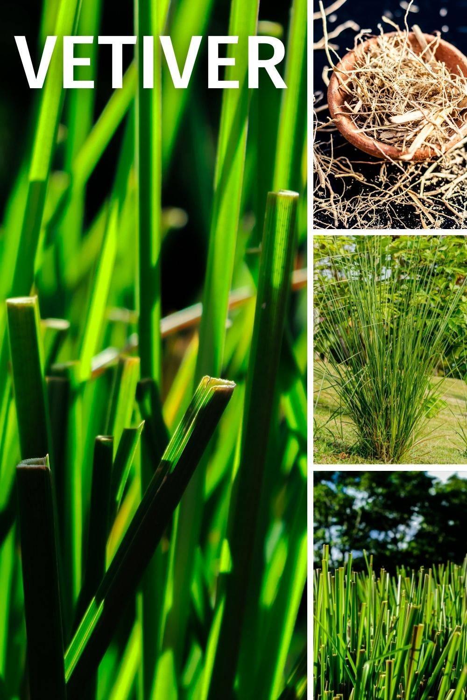 Historische Verwendung: Abwehrschwäche, Depression, Erschöpfung, Esstörungen, Nervosität   Eigenschaften: aufbauend, belebend, entspannend, regenerierend, immunsystemstärkend VETIVER Grass